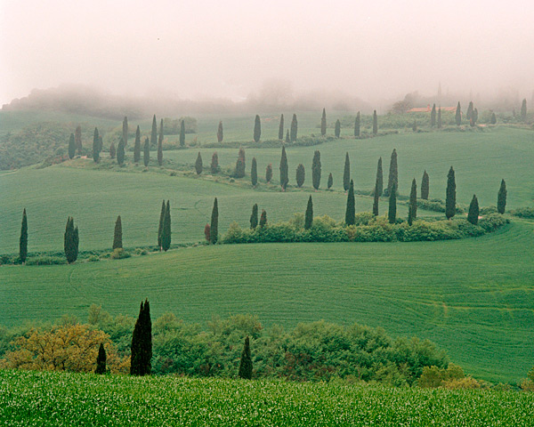 Cypress in the Mist - Italy